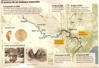 El mejillón cebra aparece cerca de Zaragoza