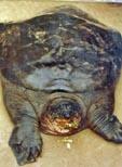 Hallada en Vietnam una tortuga que se creía extinta en libertad